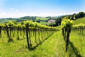 Vingård i Province of Pesaro, Italien