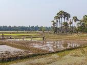 Risfält, Kambodja