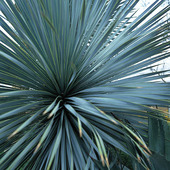 Palmlilja