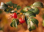 Rosehip on rose trees