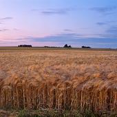 Kornfält i skymning