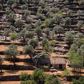 Olivodling på Mallorca, Spanien