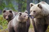 Björnfamilj
