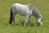 Islandshäst som betar