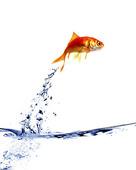 Guldfisk som hoppar ur vattnet