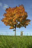 Lönnträd i höstfärger