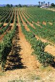 Vinodling vid Algarvekusten, Portugal