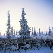 Renar i Lappland