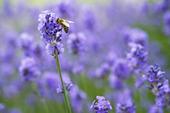 Geting på Lavendel