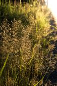 Grått saltgräs