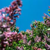 Blommande syrenbuskar