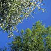 Björk och blommande äppelträd