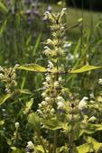 Hampdån, galeopsis speciosa