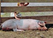 Flicka som klappar en trött gris