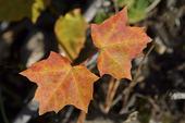 Lönnblad i höstfärger