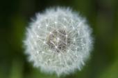 Maskrosboll