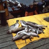 Fisk på brygga