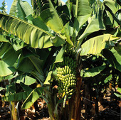 Bananodling