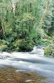Regnskog på Tasmanien, Australien