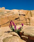 Fackelblomster bland klippor
