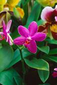 Orkidé, Brudorkidé