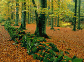 Gärdesgård i bokskog