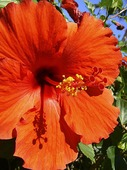 Hibiskus på Hawaii, USA