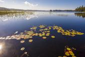 Näckrosor i sjön Färgen, Halland