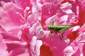 Gräshoppa på blomma