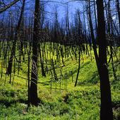 Bränd skog