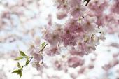Japansk prydnadskörsbär