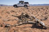 Trafikdödad oryxantilop i Namibia