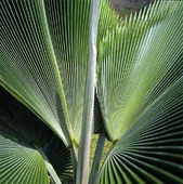 Loulu, palmblad