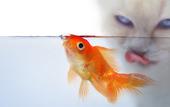 Hungrig katt som tittar på guldfisk