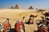 Kameler vid Pyramiderna i Giza, Egypten