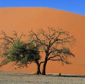 Akaciaträd i Namibiaöknen, Namibia