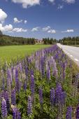 Blomsterlupin vid landsväg, Hälsingland
