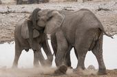 Elefanter, Namibia