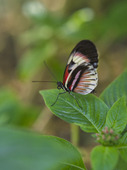 Piano Key fjäril (Heliconius Melpomene)
