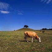 Ko i landskap