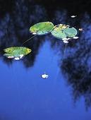 Näckrosblad i sjö