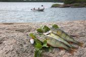 Fiskefångst, abborrar
