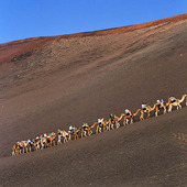 Turister som rider på kameler