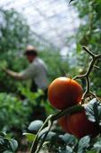 Tomatodling i växthus