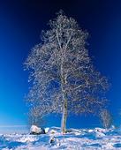 Frostigt vinterträd