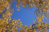 Höstträd mot blå himmel