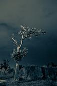Träd i skymning