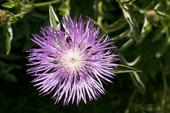 Finnklint, centaurea phrygia