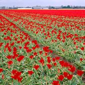 Tulpanodling, Nederländerna