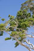 Eucalyptus träd
